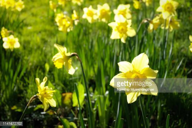 the yellow narcissus flowers on the green lawn in the sunlight of the morning in the spring season. - field of daffodils stock pictures, royalty-free photos & images