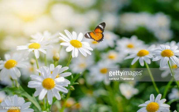 the yellow orange butterfly is on the white pink flowers in the green grass fields - デイジー ストックフォトと画像