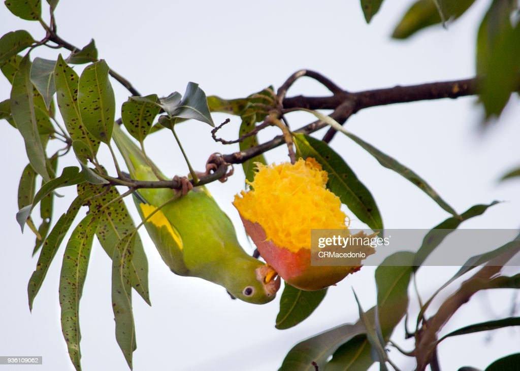 The yellow parakeet eating a delicious mango. : Stock Photo