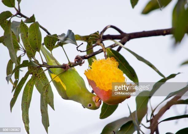 The yellow parakeet eating a delicious mango.