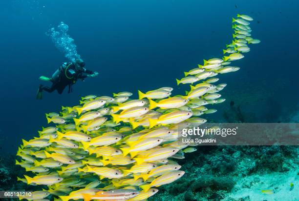 the yellow school - raja ampat islands stock photos and pictures