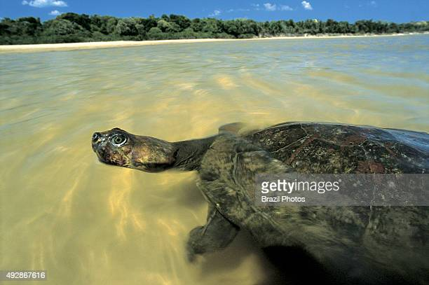 The Yellowspotted River Turtle also known at the Yellowspotted Amazon River Turtle is one of the largest South American river turtles in Portuguese...