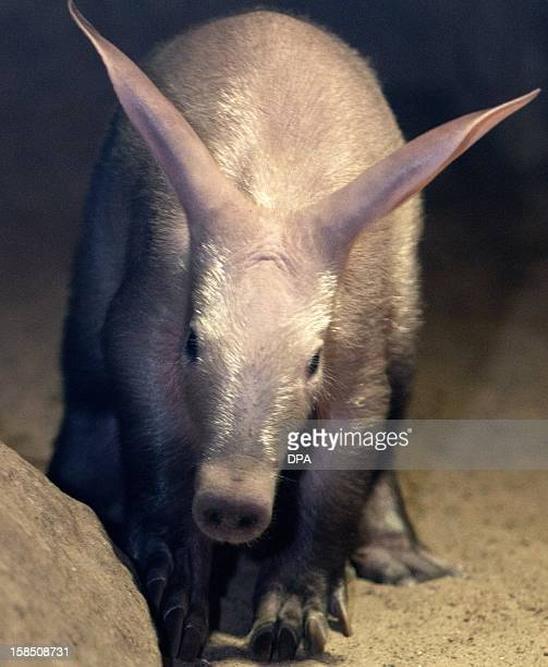 The yet unnamed male aardvark is pictured on December 18, 2012 during a press conference at Berlin Zoo. The keeper bottle feeds the animal. AFP PHOTO...