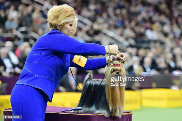 The Yorkshire Terrier 'Karma's Promise Key-Per' and trainer compete in the Toy Group judging at the 143rd Westminster Kennel Club Dog Show at Madison...