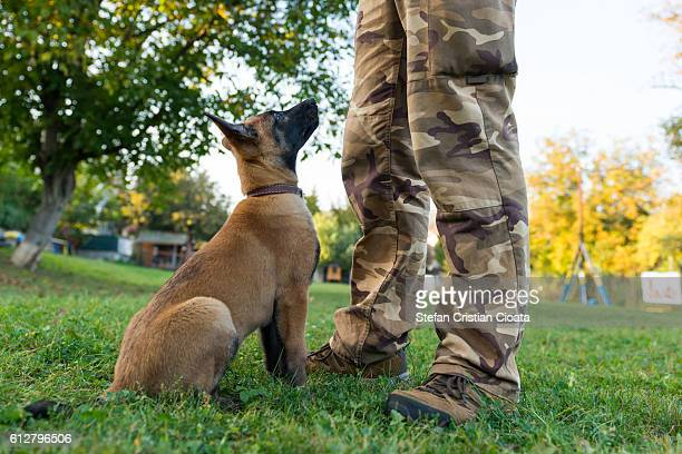 the young cadet - belgian malinois stock photos and pictures
