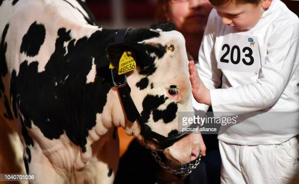 The young calf Tini of Carl is presented at the State breeding competition of milk cattle which takes place within the 26th Nikolaus Exhibition of...