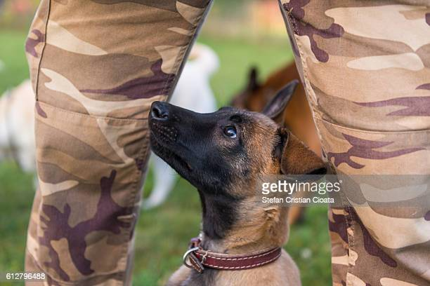 the young malinois friend - berger belge malinois photos et images de collection