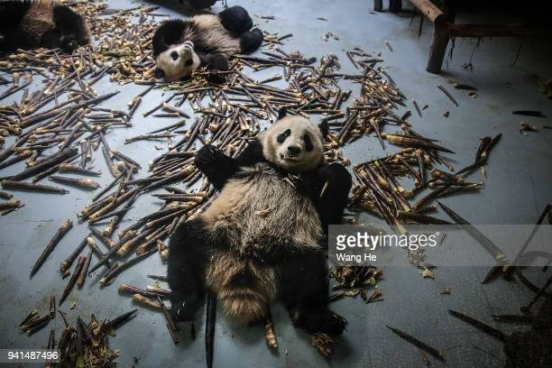 The young pandas eat bamboo shoots at the Chengdu Giant Panda Breeding Research Base on April 3 2018 in Chengdu Sichuan Province China First built in...