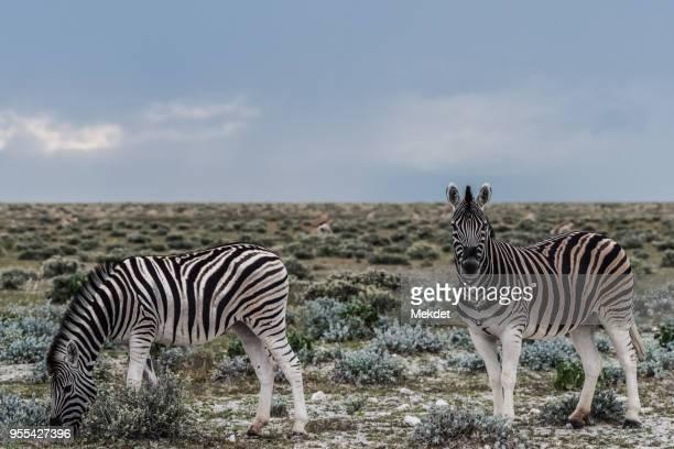 The Zebra Family at Etosha National Park, Namibia