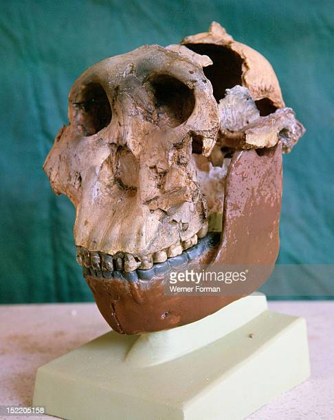 The Zinjanthropus skull also known as Australopithecus Zinjanthropus Boisei or Nutcracker Man Professor Leakey and his wife began their research in...