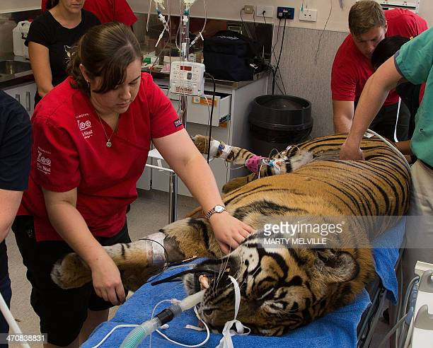 Theatre staff monitor a 120 kilogram male tiger 'Rokan' during a general health check at Wellington Zoo on February 21 2014 Veterinarians decided to...