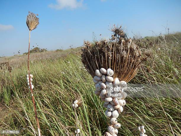 theba pisana aestivating on umbellifera in the coastal plain - llanura costera fotografías e imágenes de stock