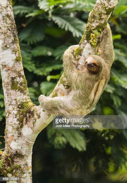 thee-toed sloth climbing cecropia tree, costa rica - three toed sloth stock pictures, royalty-free photos & images