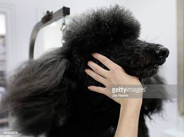 Theo Brody is groomed at the Salon and Spa in the Chateau Poochie the luxury hotel for dogs and cats December 13 2007 in Pompano Beach Florida The...