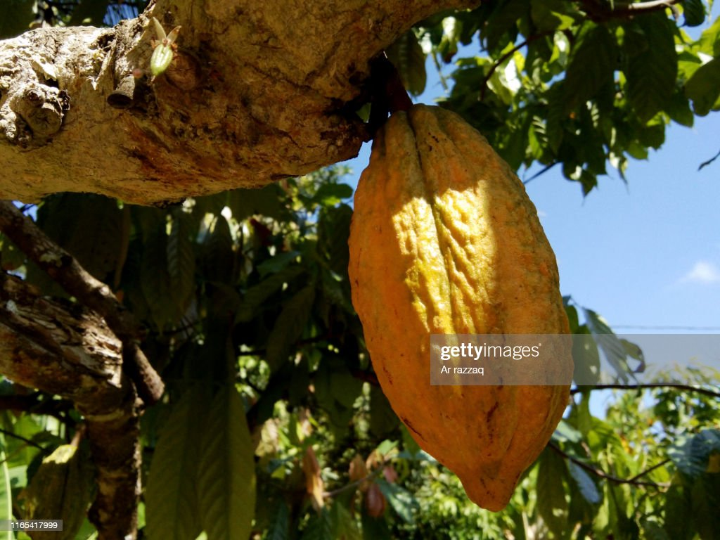 Theobroma cacao in a tree : Stock Photo