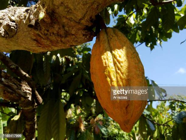 Theobroma cacao in a tree