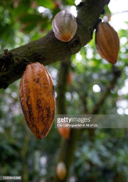 Theobroma cacao in the Kyoto botanical garden Kansai region Kyoto Japan on August 8 2018 in Kyoto Japan