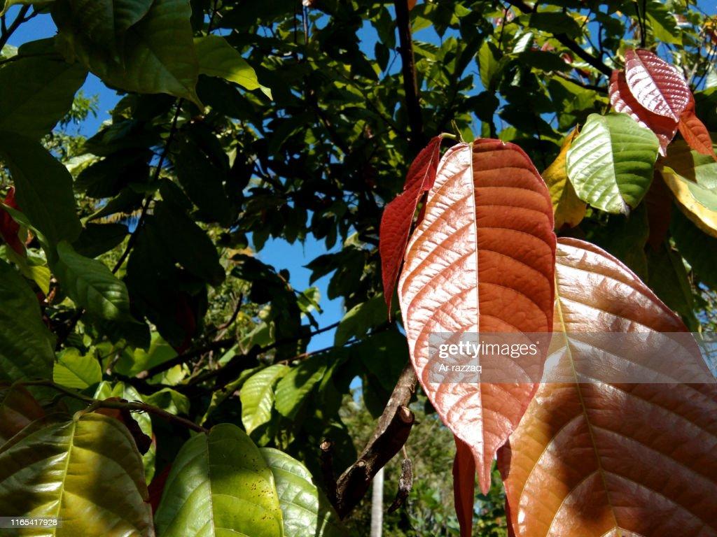 Theobroma cacao leaf : Stock Photo