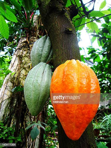 theobroma cacao - cacao tree stock photos and pictures