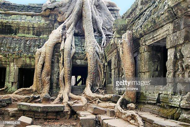 There are mainly two species of trees that slowly engulf the temple structures. The larger tree, like the one in the picture, with pale brown roots...