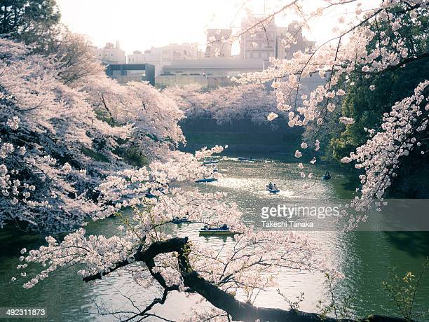 CONTENT] There are many boats under cherry blossoms in Spring