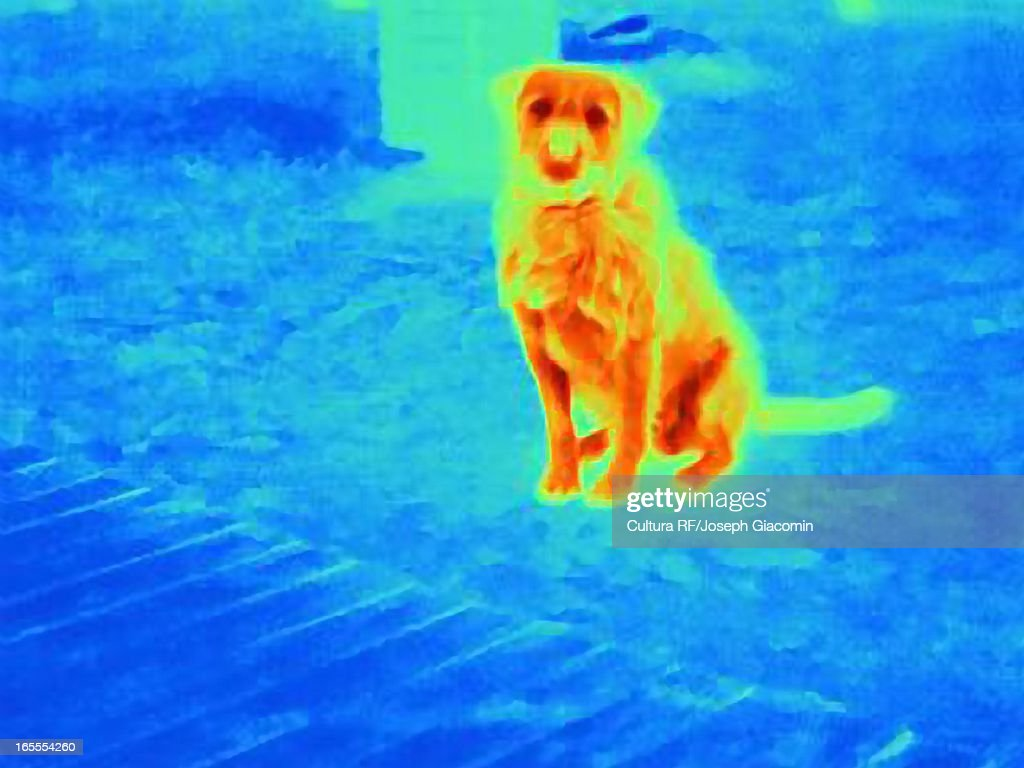 Thermal image of dog outdoors : Stock Photo