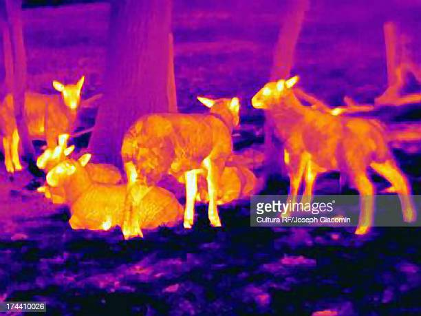 Thermal image of sheep showing thermal protection of their wool to heat loss