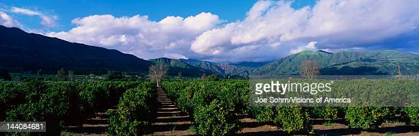 These are orange groves near Fillmore The trees are in neat rows underneath the nearby mountains There are large white clouds and a blue sky
