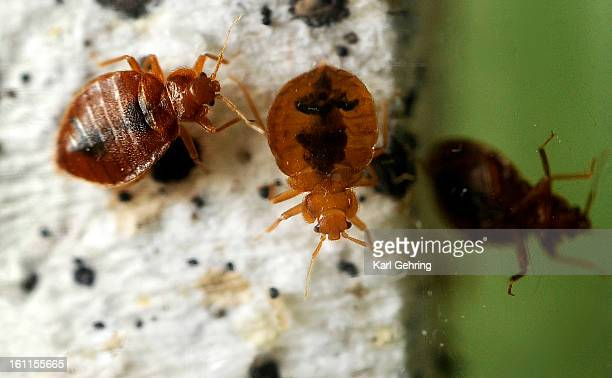 These bedbugs belong to Walter Penny who uses them to train his dog Macaroni to find them They are about the size of a capital 'O' in this caption...