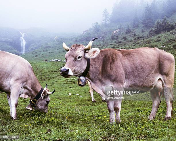 brown swiss cows in a foggy meadow - jeff goulden stock pictures, royalty-free photos & images