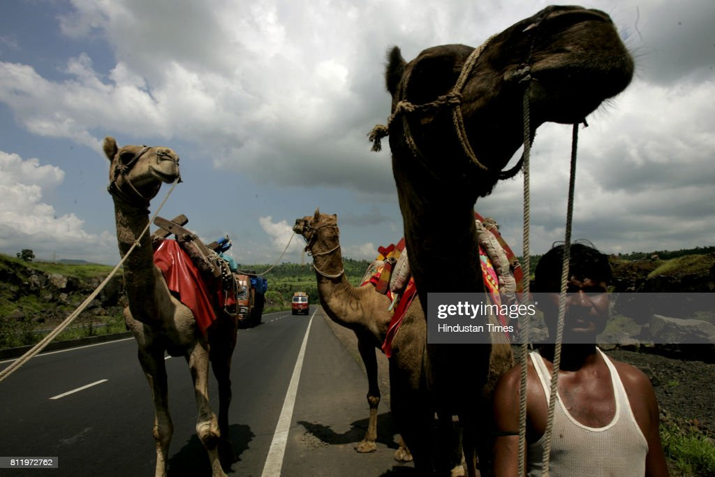 These camels were being taken to Bhiwandi for an Eid