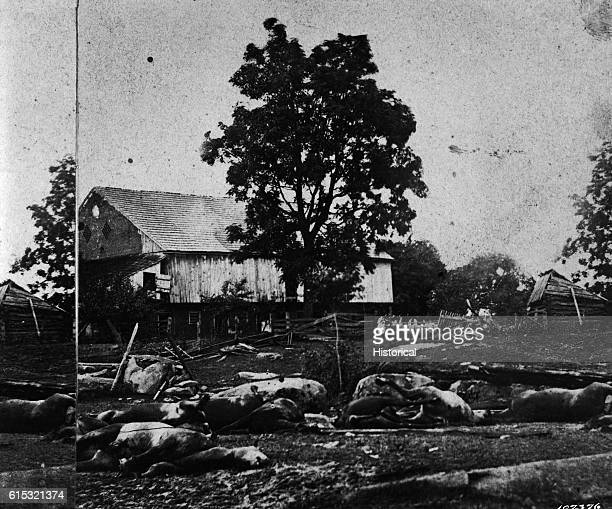These cattle at Losser's Barn were killed during the Battle of Gettysburg.
