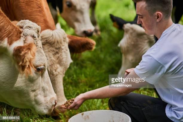 Diese Kühe werden von Hand gefüttert