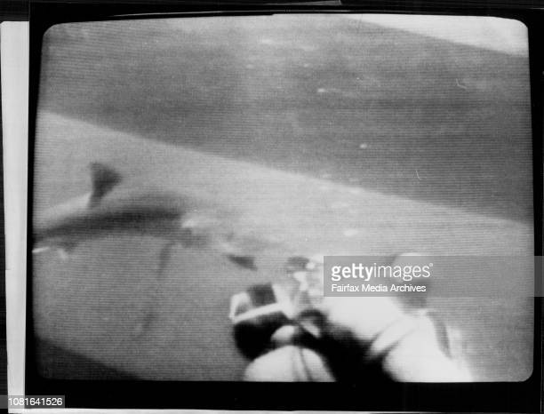These pictures copied from a Transmedia video tape show the shark attack on Sydney diver Valerie Taylor off the coast of San Diego on June 26A shark...