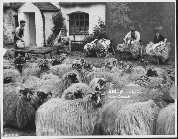 These sheep long wooled rough Gimmer Hogs from one of the highest fell farms in the Lake District England are assembled in the yard in front of the...