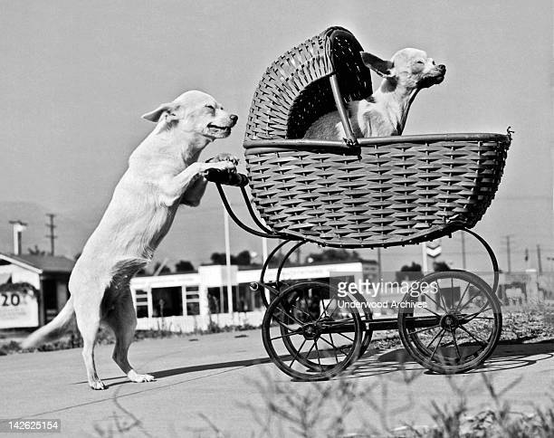 These two chihuahuas have been doing this stunt for years Pasadena California 1943 Goldie and Siver are respectively 13 and 15 years old and it never...
