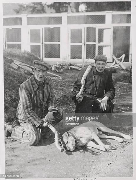 These two prisoners at Dachau concentration camp in Germany are seen with the bloodhound they killed one of 100 kept in Kennels in the background At...