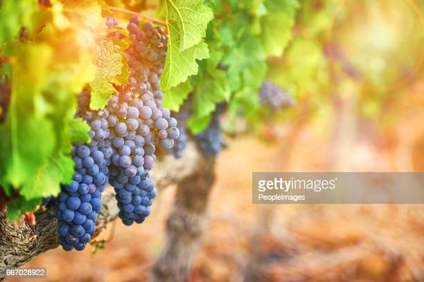 they add a rustic beauty to the landscape - grape stock pictures, royalty-free photos & images