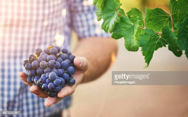 they are fully ripe - grape leaf stock pictures, royalty-free photos & images