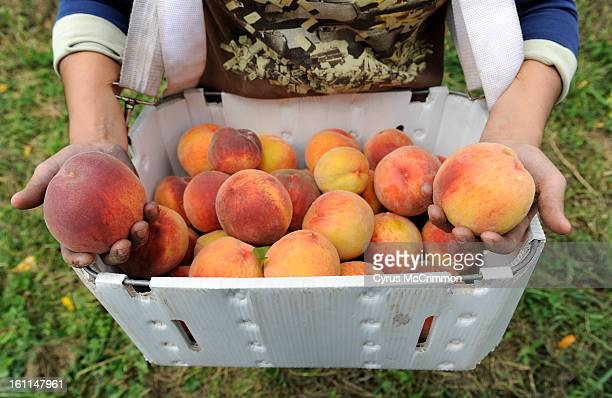 They harvested the Rosa peaches from Ela Farms in Hotchkiss on August 30 2010 They trucked the peaches 6 miles over to the Jack Rabbit Hill Peak...