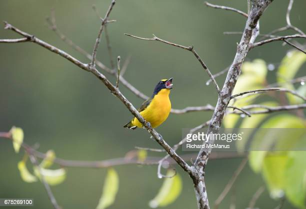 Thick Billed euphonia singing. This is the male.