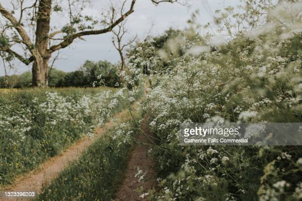 thick cow parsley framing a dirt track - national wildlife reserve stock pictures, royalty-free photos & images