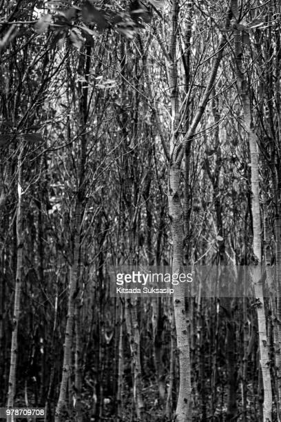 thick forest in black and white, mangrove forest, thailand - dicht stock-fotos und bilder