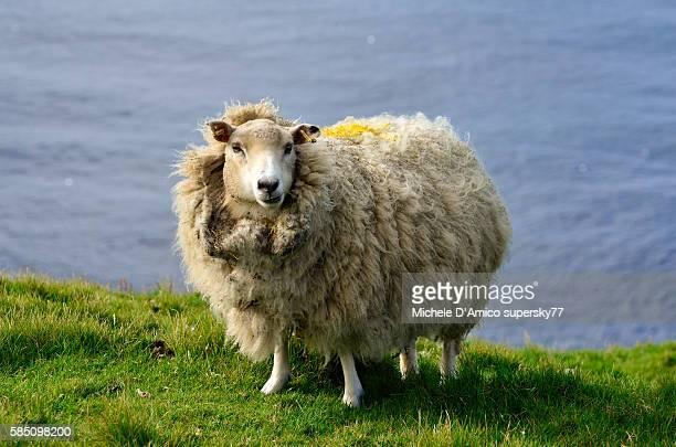 Thick furred sheep.