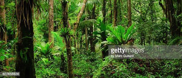 thick jungle near the top of gros piton, saint lucia. - selva tropical fotografías e imágenes de stock