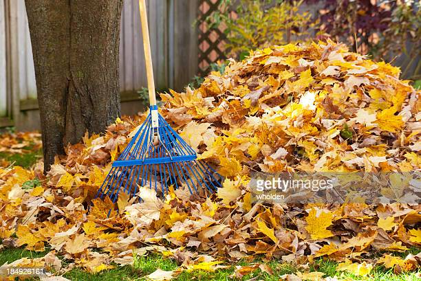thick pile of golden leaves and blue rake for cleaning - rake stock pictures, royalty-free photos & images