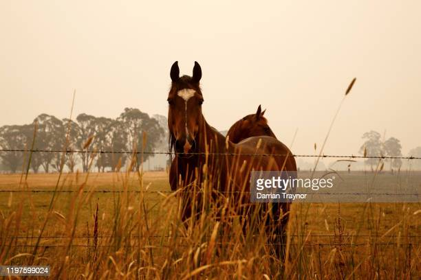 Thick smoke fills the air as horses feed in paddocks on January 05 2020 outside Cann River Australia Two people are dead and 4 remain unaccounted for...