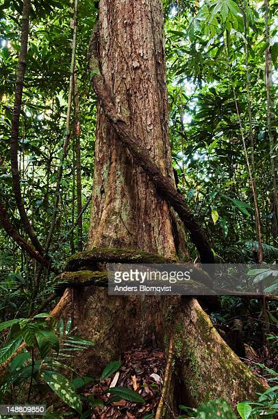 thick vine enclosing roots of dipterocarp tree in rainforest along madu trail. - dipterocarp tree stock pictures, royalty-free photos & images