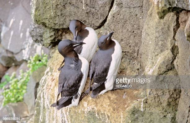 Thickbilled Murre During The Breeding Season In The Cliffs of St Paul An Island of the Pribilof Islands Archipelagothey Live In The Northern Parts of...