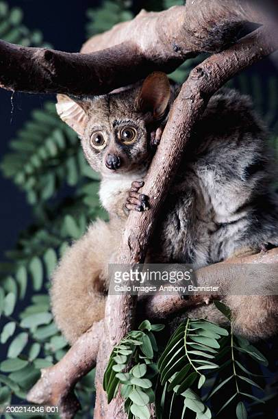 thick-tailed bushbaby (galago crassicaudatus) in tree, close-up - bush baby stock photos and pictures
